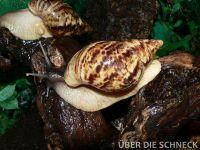 a.reticulata001