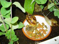 a.reticulata003