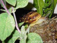 a.reticulata004