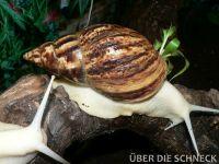 a.reticulata005