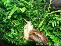 a.reticulata010