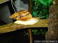 a.reticulata011